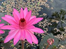 Pink lotus flowers bloom in the morning. (photos&#x29 royalty free stock photo