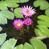 Pink lotus flowers Royalty Free Stock Image