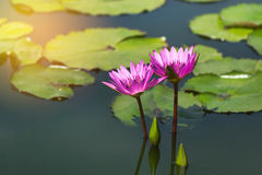 Pink lotus flowers blooming in lake Stock Images