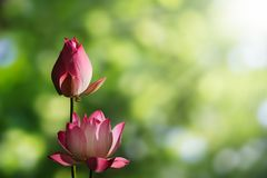 Pink lotus flowers on blurred green bokeh background. With soft sunlight royalty free stock photo