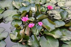 Pink lotus flowers in garden pond stock images