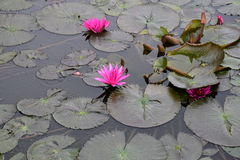 Pink lotus flowers in garden pond stock image