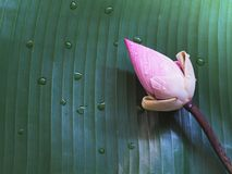 Pink lotus flowers on green banana leaf with water drops. Royalty Free Stock Photos