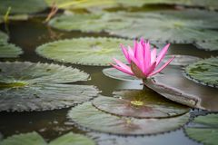 Pink lotus flowers on pond. Pink lotus flowers and green leaf on pond Royalty Free Stock Image