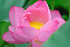 Pink lotus flowers Stock Photography