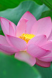 Pink lotus flowers Royalty Free Stock Photos