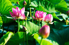 The pink lotus flowers and green leaves Stock Photography