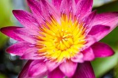 Pink lotus flowers Stock Photo