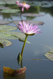 Pink Lotus Flowers Stock Images