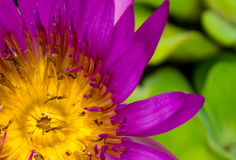 Pink Lotus Flowers in Lily Pond Stock Images