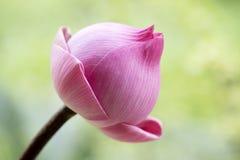 Pink lotus Stock Photography