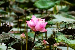 Pink lotus flowers in middle pond in the garden at local resort with sunlight background. Pink lotus flowers growing up in the garden at local resort, fresh and stock image