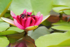 Pink lotus flowers in the nature Stock Image