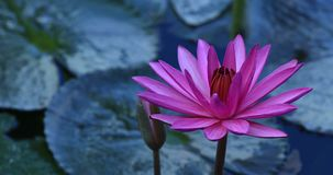 Pink lotus flowers on one stalk. Pink flowers  in summer pond stock footage