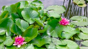 Pink lotus flowers. Green leaves on water. In search of serenity stock footage