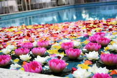 Pink Lotus Flowers in Pool Stock Photo