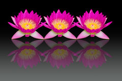 Pink lotus flowers with reflection isolated on black background Stock Photography