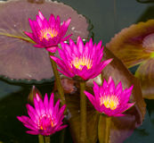 Pink Lotus flowers in Thailand Royalty Free Stock Photography