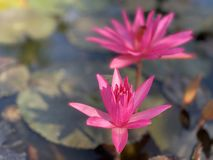 Pink lotus flowers are used to offer monks. Or used to decorate in a vase. (photos&#x29 stock photos
