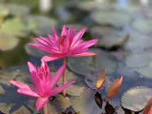 Pink lotus flowers are used to offer monks. Or used to decorate in a vase. (photos&#x29 royalty free stock photo