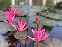 Pink lotus flowers are used to offer monks. Or used to decorate in a vase stock images