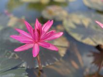 Pink lotus flowers are used to offer monks. Or used to decorate in a vase. (photos&#x29 royalty free stock photography