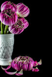 Pink lotus flowers in vase isolated on black Stock Image