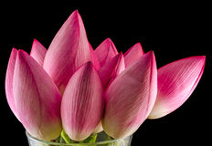 Pink lotus flowers, water lily, close up Royalty Free Stock Photo
