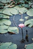 Pink lotus flowers or pink water lily and green leaves in the pond Royalty Free Stock Photo