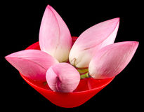 Pink lotus flowers, water lily in a red bowl with water, close up Royalty Free Stock Photo