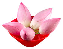 Pink lotus flowers, water lily in a red bowl with water, close up Royalty Free Stock Image