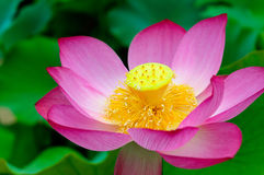 Pink lotus in full bloom Stock Photo