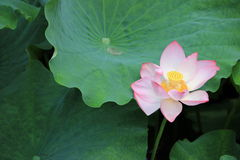 Pink lotus in full bloom. A pink lotus flower in full bloom , next to the green lotus leaf Stock Image