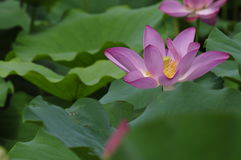 Pink lotus  full blossom. Stock Photography