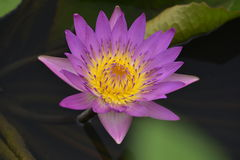 Pink lotus  full blossom. Royalty Free Stock Photography