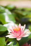 Pink Lotus in the garden Royalty Free Stock Photo