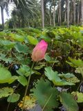 Pink lotus in the garden. stock photo