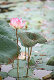 Pink lotus. On green background Stock Photo
