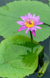 Pink lotus with green leaf Royalty Free Stock Photos