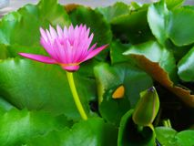 Pink lotus on green leaf background in the pond royalty free stock image