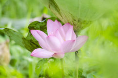 Pink Lotus with green leaf Stock Images