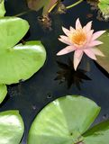Pink Lotus & green leaves in a pond royalty free stock photo
