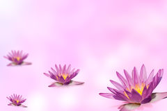 Pink lotus group on expandable blur background Stock Photography