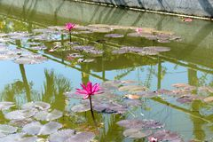 Pink lotus grows in the pond. Stock Photography