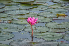 Pink lotus. Isolated pink lotus blossom in a pond Royalty Free Stock Images