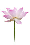 Pink lotus isolated on white Stock Photo