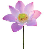 Pink lotus isolated on white Royalty Free Stock Images