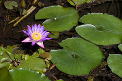 Pink lotus with its leaves Stock Photography