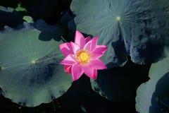 Pink lotus among its leaves. Pink Lotus in black background lotus among its leaves Stock Image