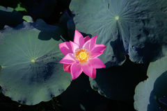 Pink lotus among its leaves stock image